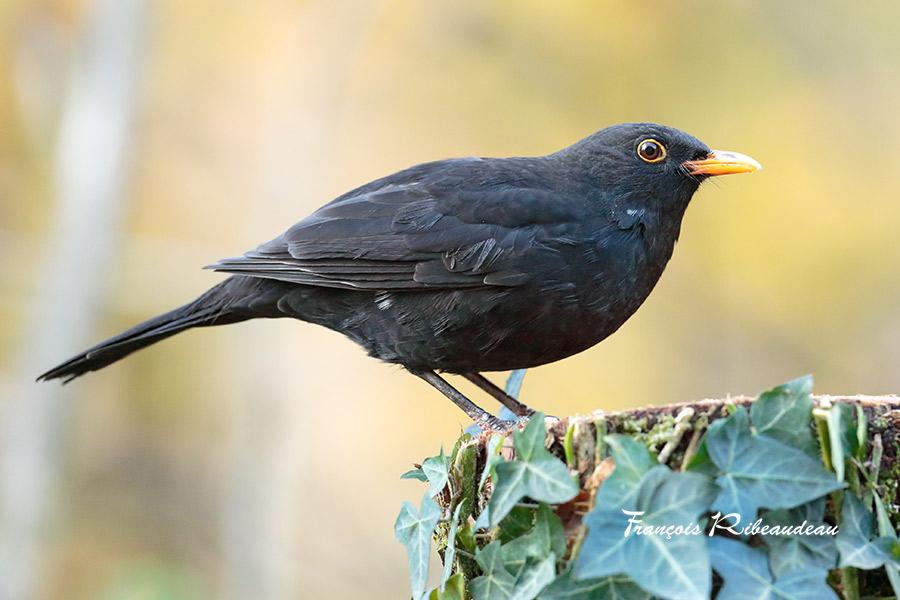 Les oiseaux du jardin fran ois ribeaudeau chasse photo for Les oiseaux des jardins