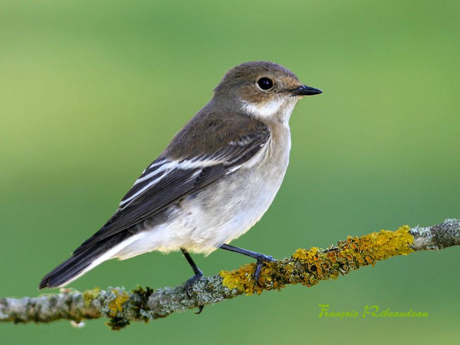 Les oiseaux du jardin fran ois ribeaudeau chasse photo for Liste oiseaux des jardins